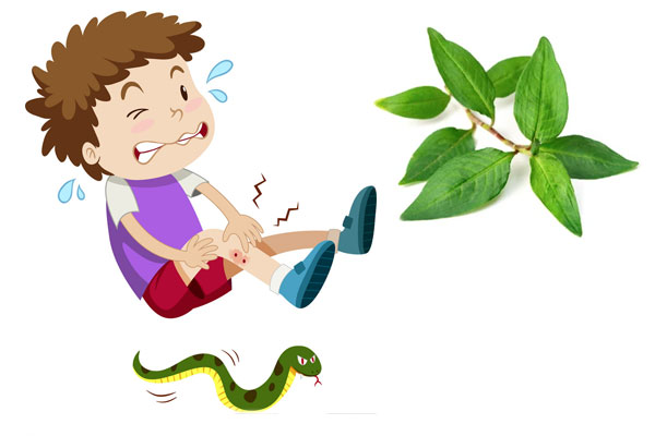 rau răm chữa rắn cắn